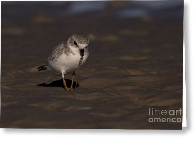 Meg Greeting Cards - Piping Plover Photo Greeting Card by Meg Rousher