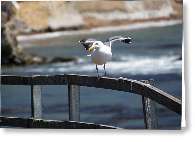 Water Fowl Greeting Cards - Pismo Beach Seagull On The Fence Greeting Card by Barbara Snyder