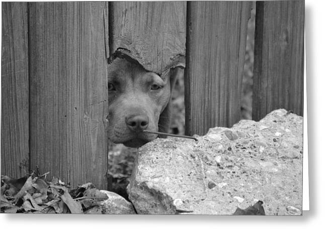 Brown Dog Greeting Cards - Pit Bull Black and White Greeting Card by Kim Stafford
