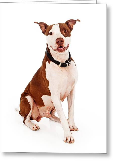 Obedient Greeting Cards - Pit Bull Dog With Happy Expression Greeting Card by Susan  Schmitz