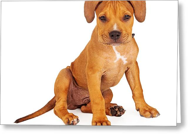 Guard Dog Greeting Cards - Pit Bull Puppy Fawn Color Greeting Card by Susan  Schmitz