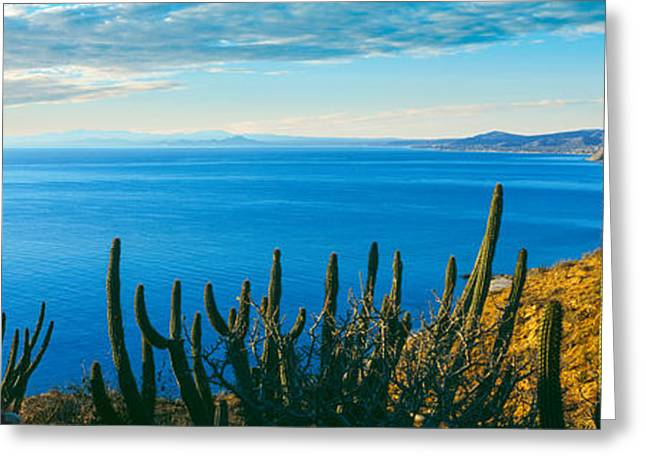 Baja California Sur Greeting Cards - Pitaya And Cardon Cactus On Coast Greeting Card by Panoramic Images