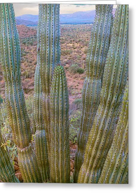 Baja California Greeting Cards - Pitaya Cactus Plant In Desert, Mulege Greeting Card by Panoramic Images