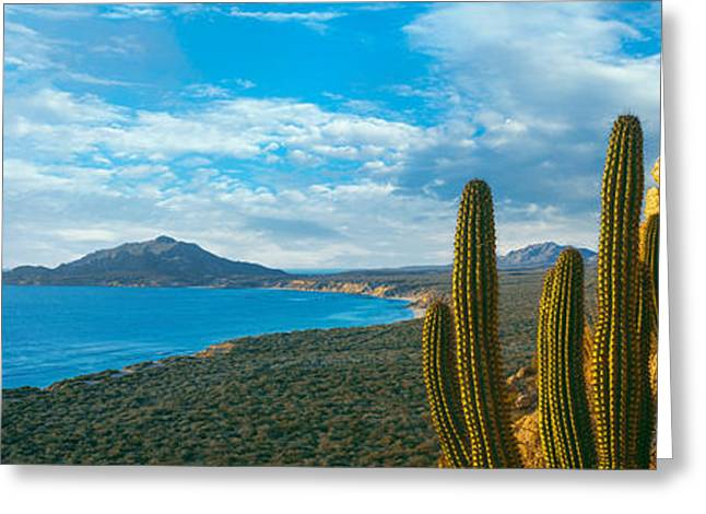 Park Scene Greeting Cards - Pitaya Cactus Plants On Coast, Cabo Greeting Card by Panoramic Images
