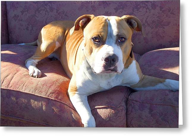 Prairie Dog Pyrography Greeting Cards - Pitbull on a couch Greeting Card by Ritmo Boxer Designs
