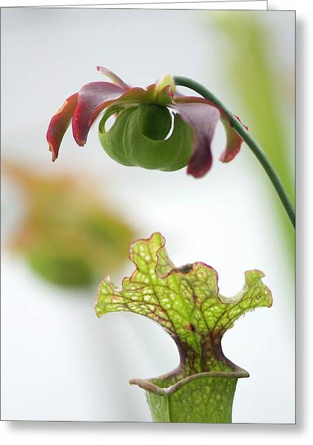 Pitcher Plant (sarracenia Sp.) Greeting Card by Maria Mosolova