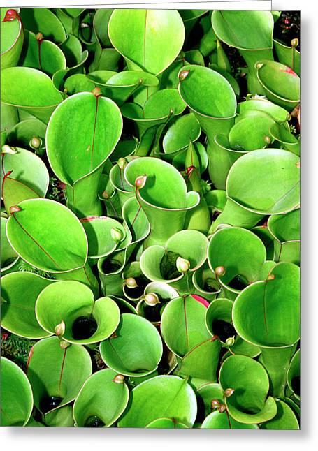 Pitcher Plants Palm Springs Greeting Card by William Dey