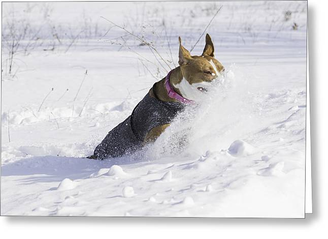 Pitt Bull Snow Plow Greeting Card by Thomas Young