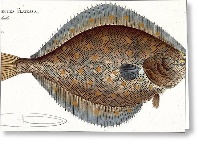 Plies Greeting Cards - Plaice Plate Xlii From Ichthyologie, Ou Greeting Card by Andreas-Ludwig Kruger
