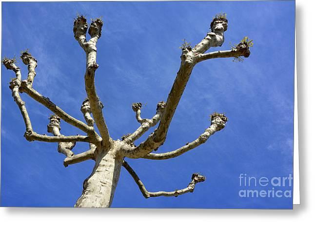 Plane Tree Greeting Card by Bernard Jaubert