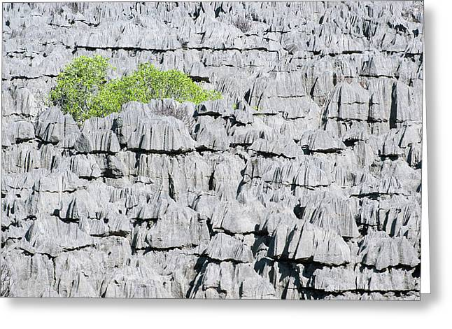 Plant Growing On Limestone Rocks Greeting Card by Dr P. Marazzi