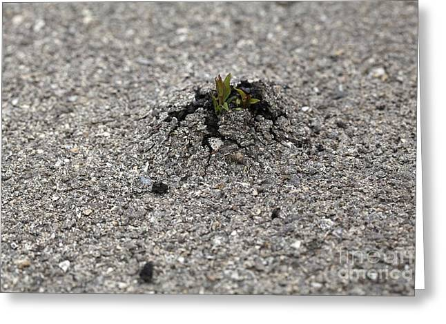 Breaking Through Greeting Cards - Plant Growing Through Asphalt Greeting Card by Thierry Berrod, Mona Lisa Production/ Science Photo Library