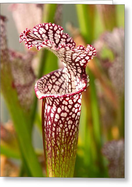 Plant - Pretty As A Pitcher Plant Greeting Card by Mike Savad