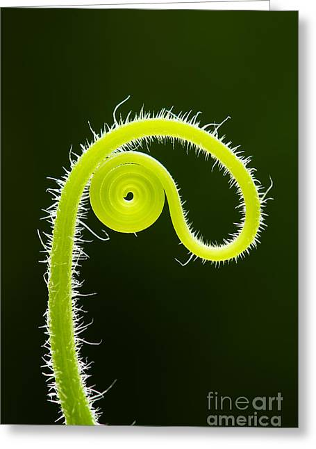 Circling Greeting Cards - Plant tendril Greeting Card by Tim Gainey