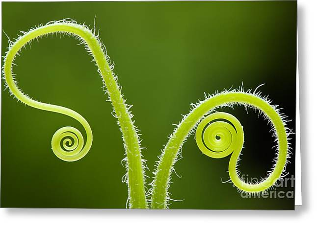 Backlit Greeting Cards - Plant tendrils Greeting Card by Tim Gainey