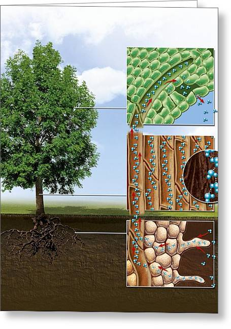 Xylem Vessels Greeting Cards - Plant water transport, artwork Greeting Card by Science Photo Library