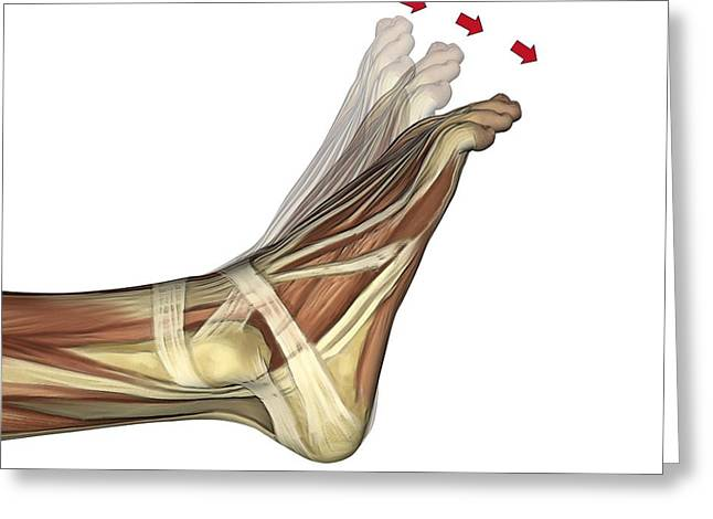 Flexor Digitorum Greeting Cards - Plantarflexion Of The Foot, Artwork Greeting Card by D & L Graphics