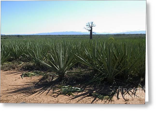 Baobab Greeting Cards - Plantation Of Sisal, Madagascar Greeting Card by Greg Dimijian