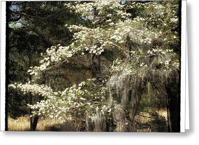 Plantation Tree Greeting Card by John Rizzuto