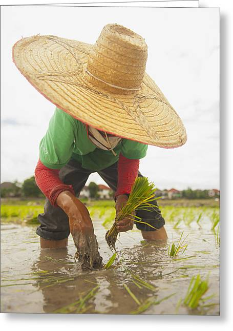 Sun Hat Greeting Cards - Planting New Ricechiang Mai Thailand Greeting Card by Stuart Corlett