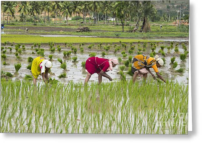 Asian Workers Greeting Cards - Planting Rice India Greeting Card by Tim Gainey