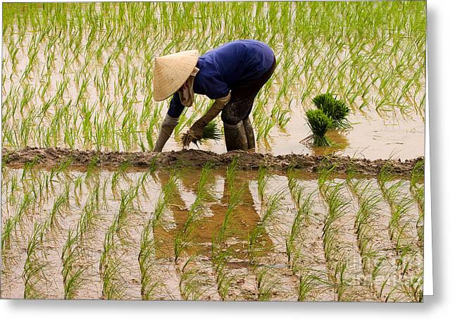 Sout Greeting Cards - Planting Rice Greeting Card by J L Woody Wooden