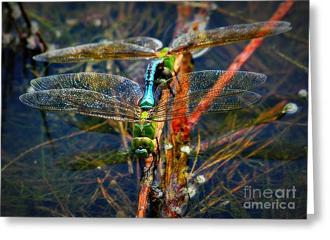 Waterlife Greeting Cards - Dragonfly Reflections while Planting Young Greeting Card by Reid Callaway