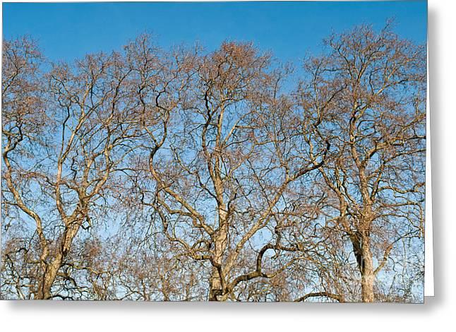 Platanus Trees Greeting Card by Luis Alvarenga