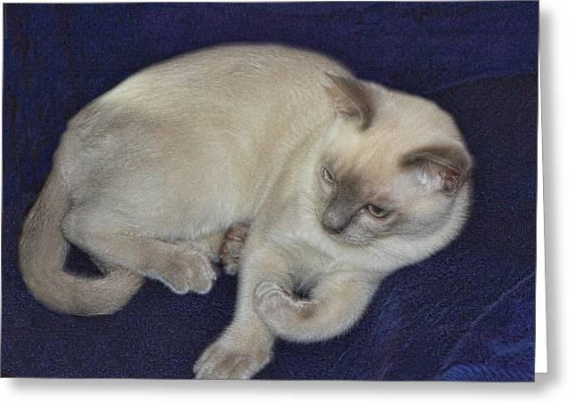 Tonkinese Cat Greeting Cards - Platnium Tonkinese Greeting Card by Linda Phelps