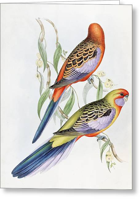 Plumed Greeting Cards - Platycercus Adelaidae from the Birds of Australia Greeting Card by John Gould