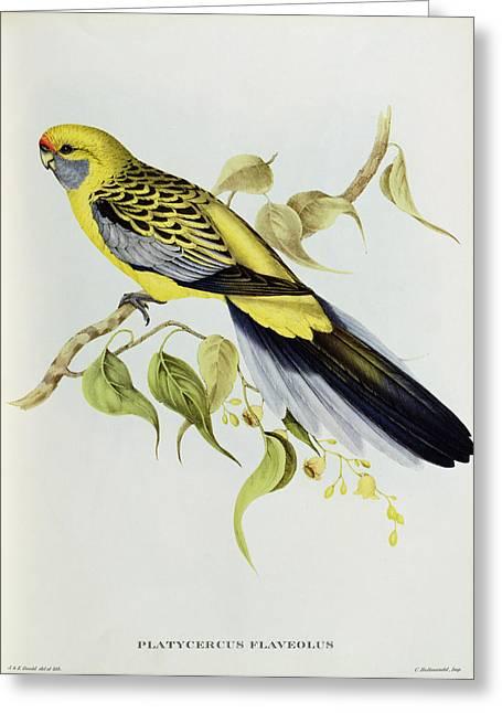 Grb Greeting Cards - Platycercus Flaveolus Greeting Card by John Gould