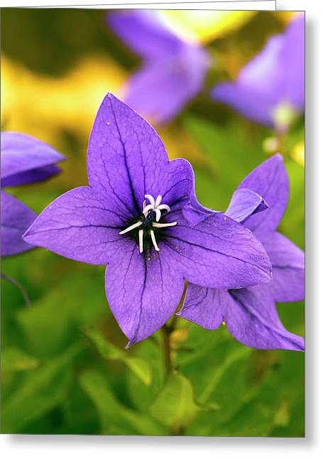 Platycodon Grandiflorus 'astra Blue' Greeting Card by Adrian Thomas