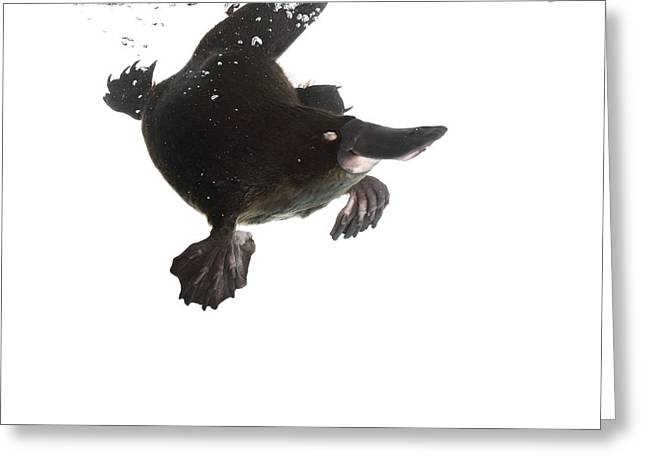 Aquatic Greeting Cards - Platypus swimming Greeting Card by Science Photo Library