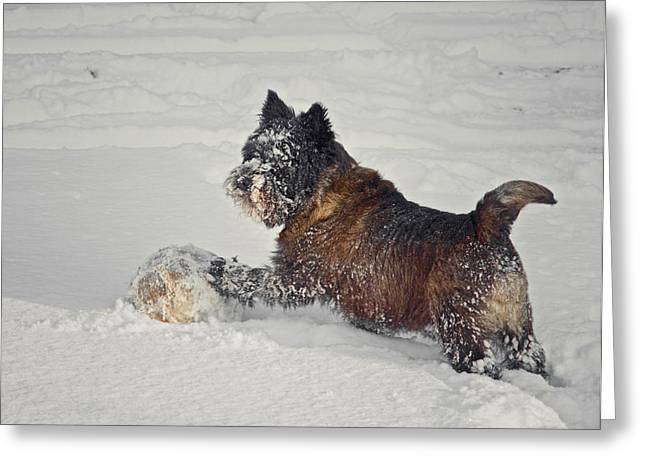 Cairn Terrier Greeting Cards - Play Ball Greeting Card by Odd Jeppesen