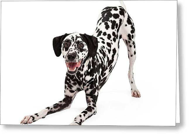 Dalmatian Greeting Cards - Playful Dalmatian Dog Bowing Greeting Card by Susan  Schmitz