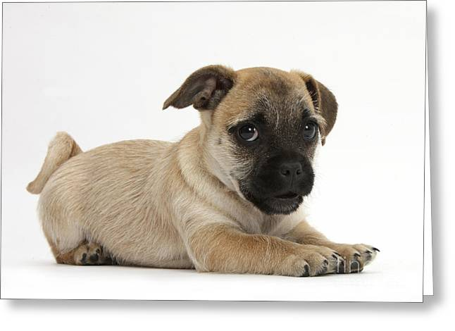 House Pet Greeting Cards - Playful Jug Puppy Greeting Card by Mark Taylor