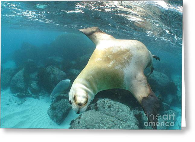Hopkins Island Greeting Cards - Playful sea lion Greeting Card by Crystal Beckmann