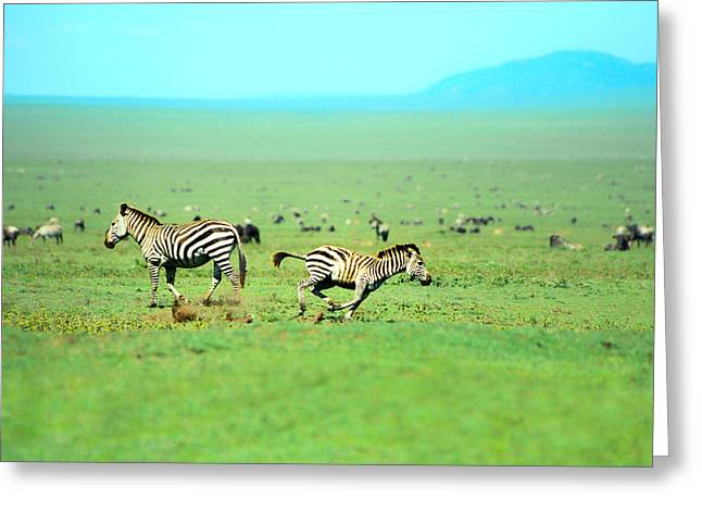 Zebra Greeting Cards - Playfull Zebras Greeting Card by Sebastian Musial