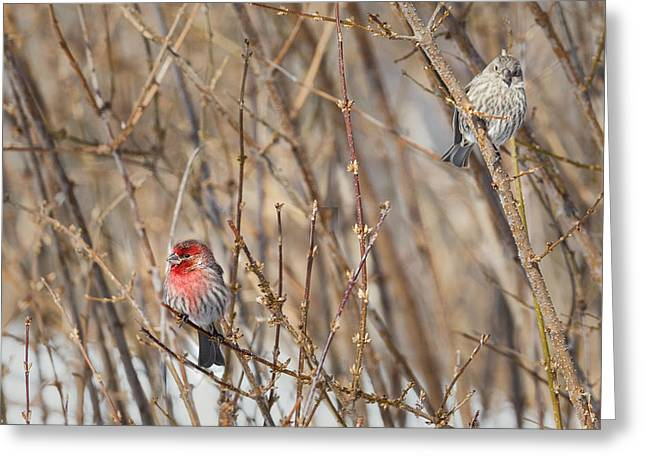 House Finch Greeting Cards - Playing House Greeting Card by Bill  Wakeley