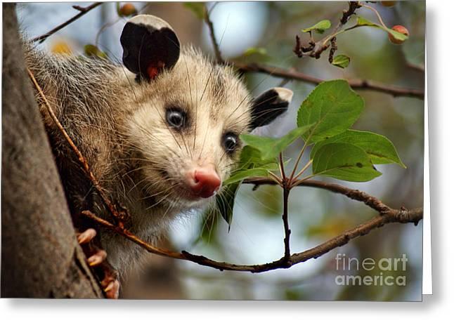 Playing Possum Greeting Card by Nikolyn McDonald