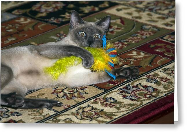 Tonkinese Cat Greeting Cards - Playtime Greeting Card by Sally Weigand