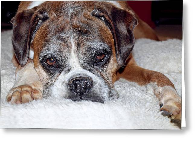 Boxer Greeting Cards - Please Let Me Stay By The Fire Greeting Card by Gill Billington