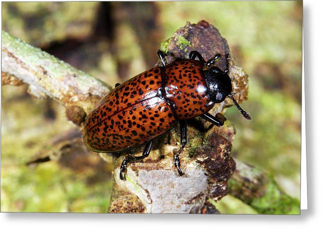 Pleasing Fungus Beetle Greeting Card by Dr Morley Read
