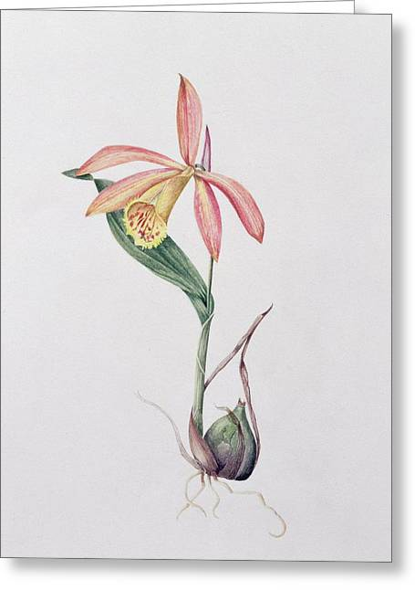 Crocus Flower Greeting Cards - Pleione Zeus Wildstein Greeting Card by Mary Kenyon-Slaney