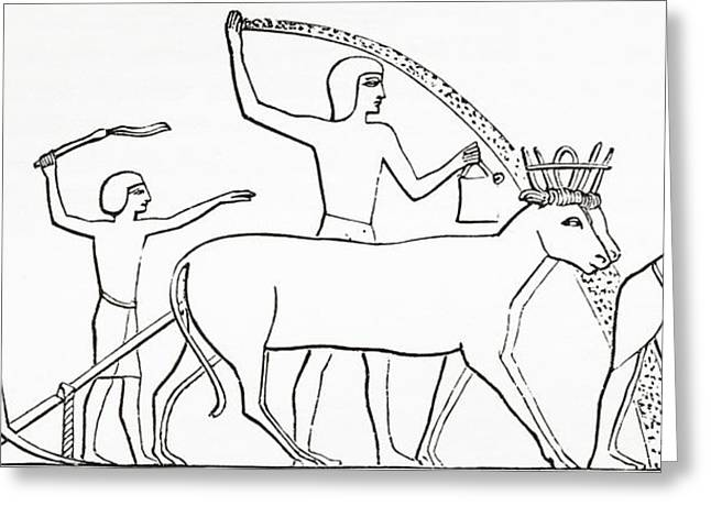 Sowing Greeting Cards - Ploughing, Hoeing And Sowing With Animals In Ancient Egypt.  From The Imperial Bible Dictionary Greeting Card by Bridgeman Images