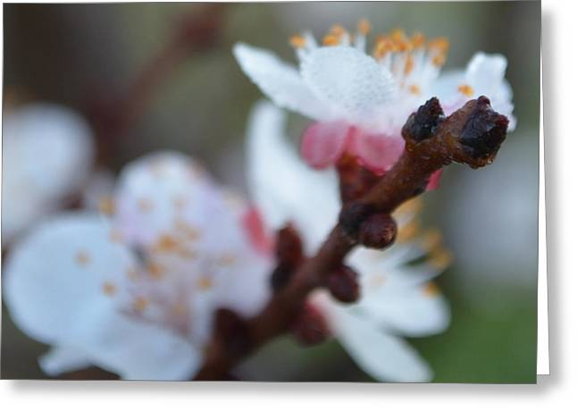 Plum Blossom 1.1 Greeting Card by Cheryl Miller