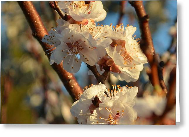 Plum Blossom 1.9 Greeting Card by Cheryl Miller