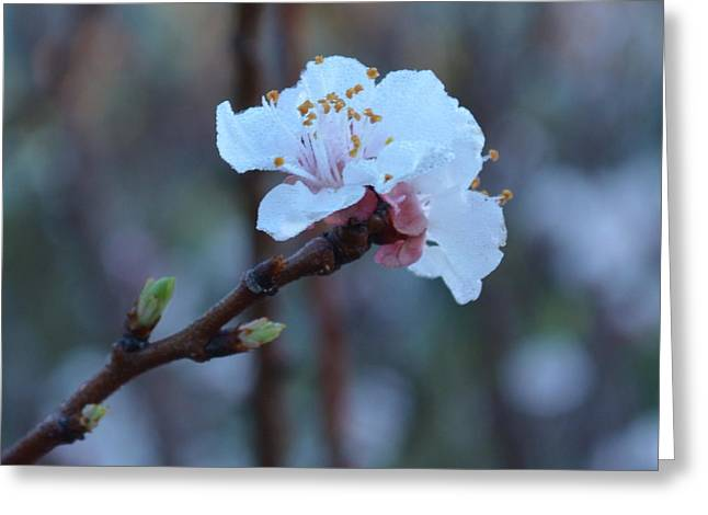 Plum Blossom 1.4 Greeting Card by Cheryl Miller