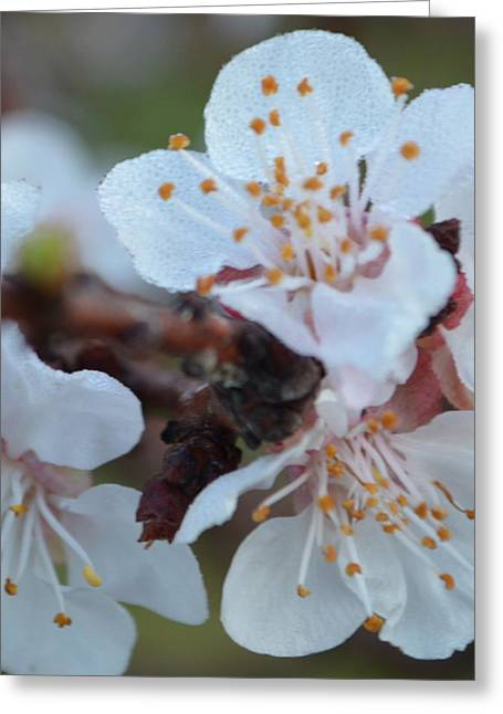 Plum Blossom 1.2 Greeting Card by Cheryl Miller