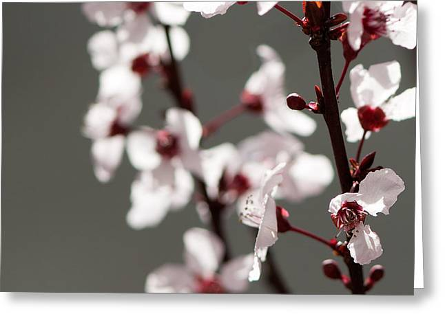 Plum Greeting Cards - Plum Blossom II Greeting Card by Peter Tellone